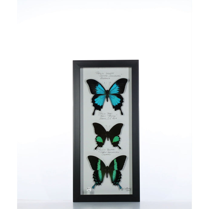 Blue Green Paplios 6x14 Black #102 Framed Art - Insecta Etcetera
