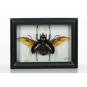 Atlas Beetle 5x7 Black Deep #118 Framed Art - Insecta Etcetera