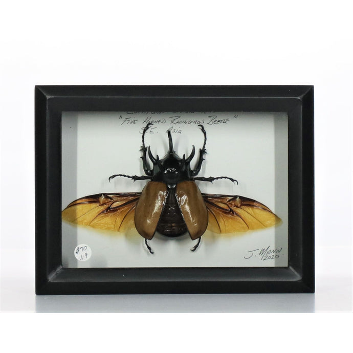Five-Horned Rhinocerous Beetle 5x7 Black Deep #119 Framed Art - Insecta Etcetera