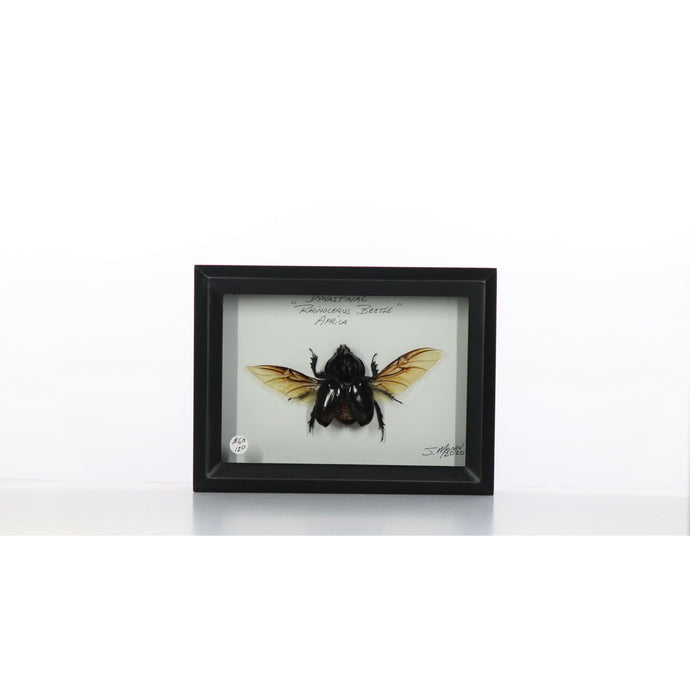 Rhino Beetle 5x7 Black Deep #120 Framed Art - Insecta Etcetera