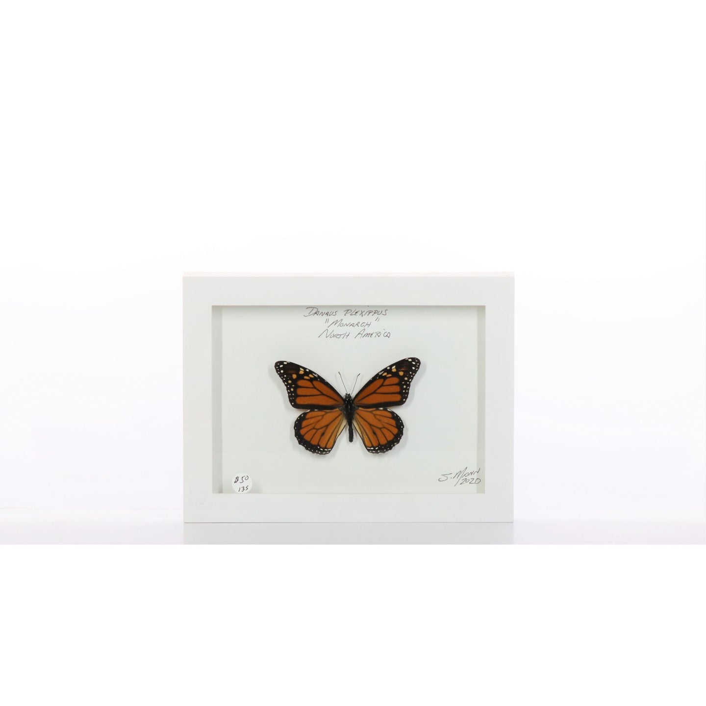 Monarch 5x7 White #135 Framed Art - Insecta Etcetera