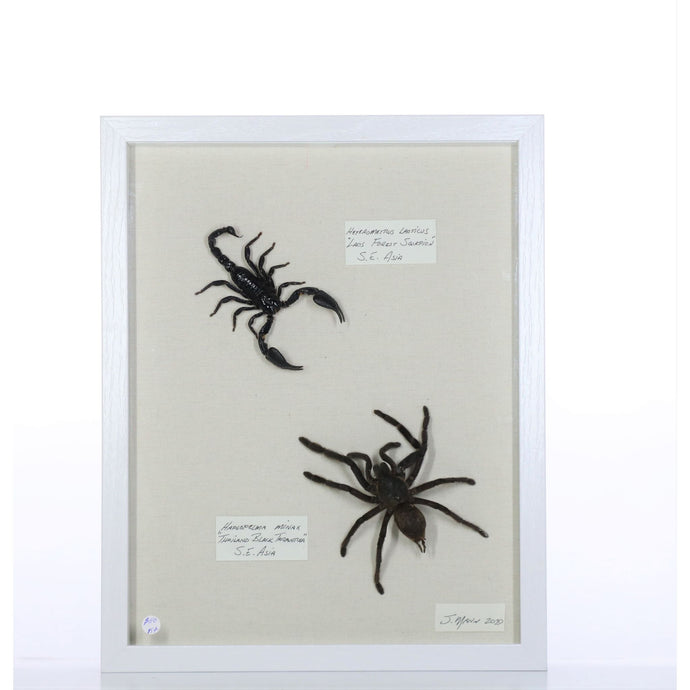 Tarantula and Scorpion 11x14 White #154 Framed Art - Insecta Etcetera