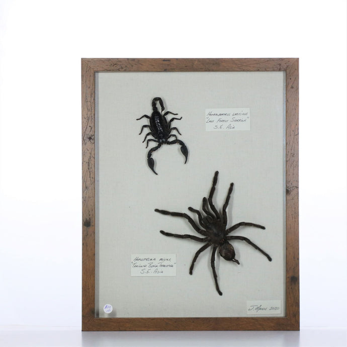 Tarantula and Scorpion 11x14 Brown #155 Framed Art - Insecta Etcetera