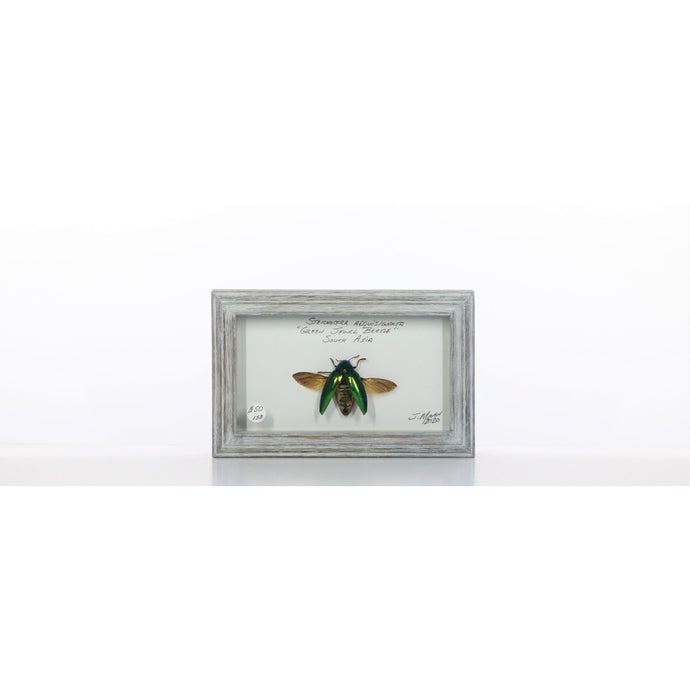 Green Jewel Beetle Spread 4x7 Gray #158 Framed Art - Insecta Etcetera
