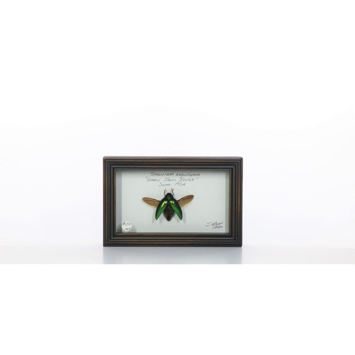 Green Jewel Beetle Spread 4x7 Gray #160 Framed Art - Insecta Etcetera