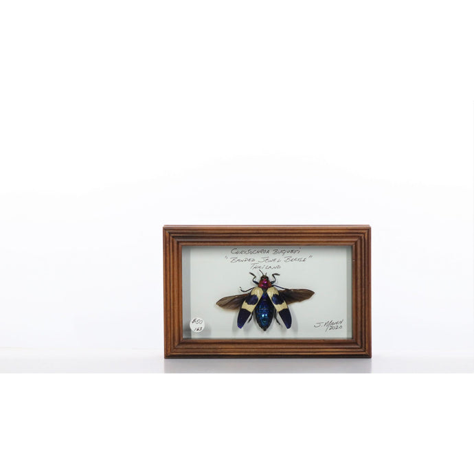 Banded Jewel Beetle 4x7 Brown #163 Framed Art - Insecta Etcetera