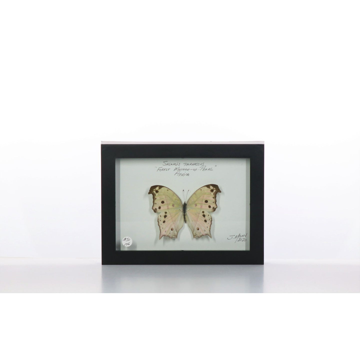 Forest Mother of Pearl Butterfly 5x7 Black #176 Framed Art - Insecta Etcetera