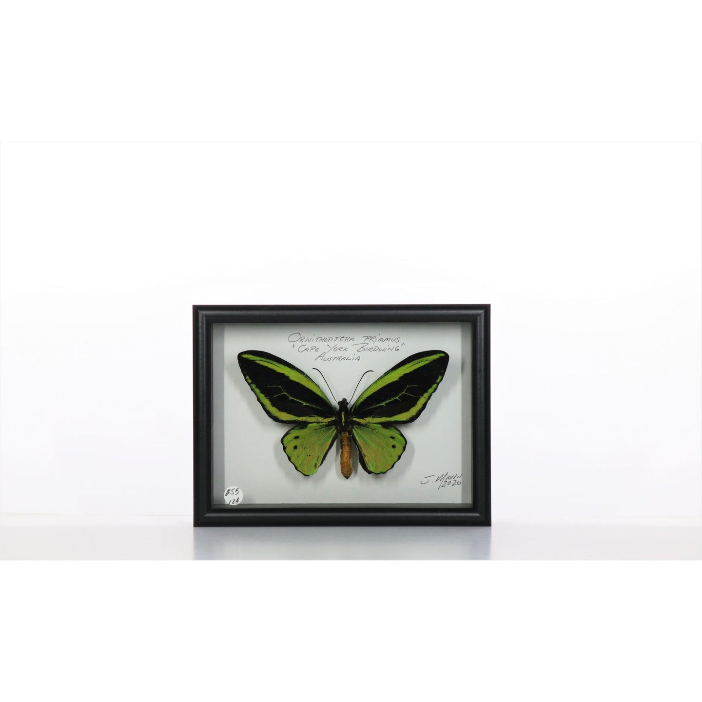 Cape York Birdwings 5x7 Black #184 Framed Art - Insecta Etcetera