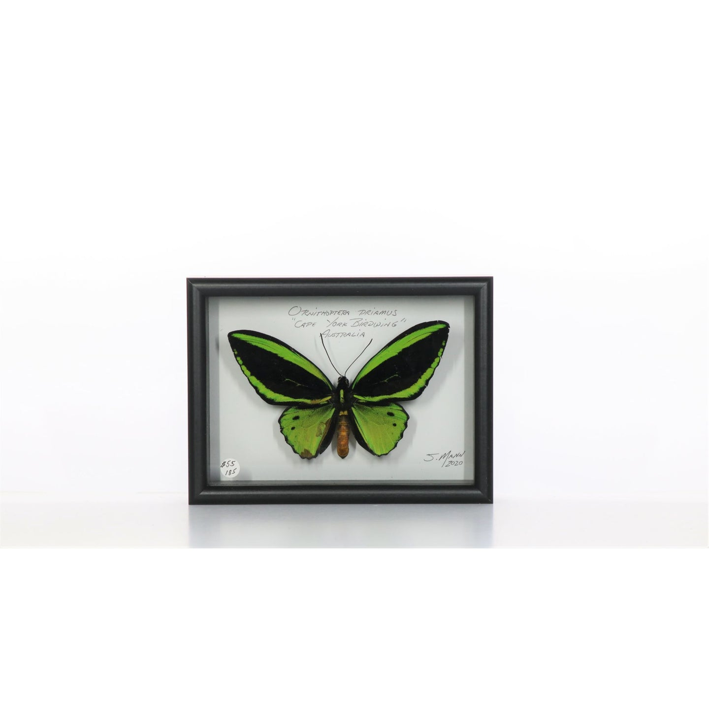 Cape York Birdwings 5x7 Black #185 Framed Art - Insecta Etcetera