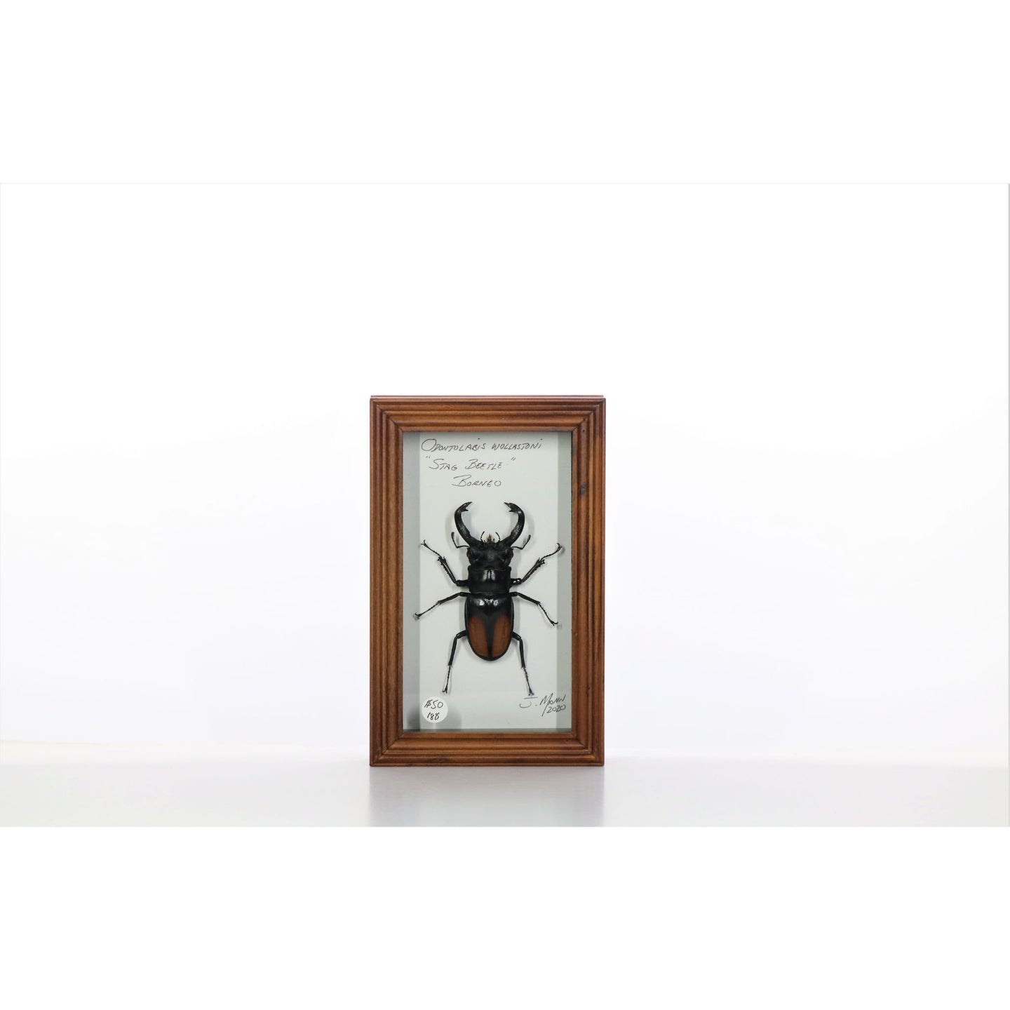 Stag Beetle 4x7 Brown #188 Framed Art - Insecta Etcetera