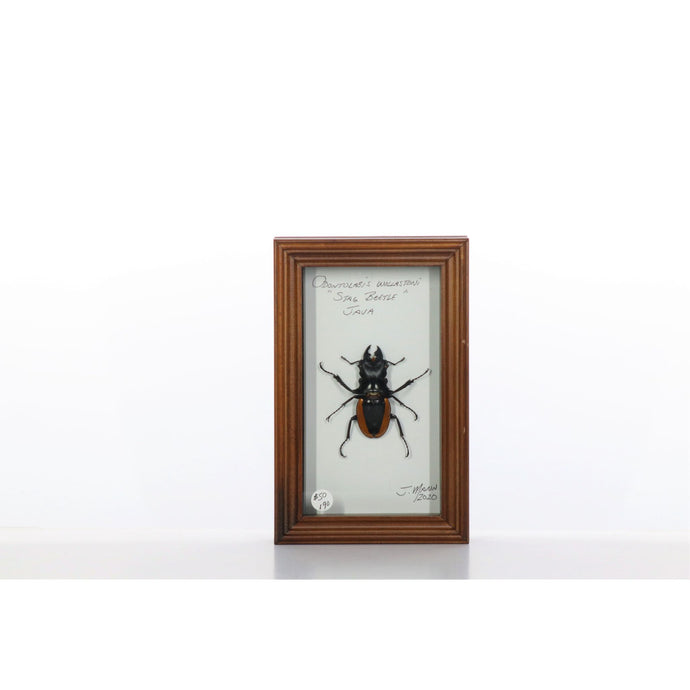 Stag Beetle 4x7 Brown #190 Framed Art - Insecta Etcetera