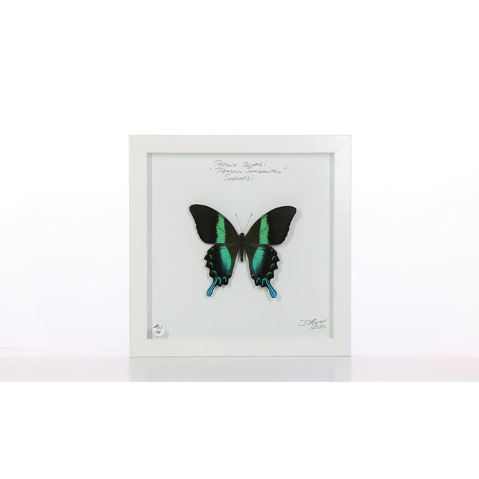 Peacock Swallowtail 8x8 White #198 Framed Art - Insecta Etcetera