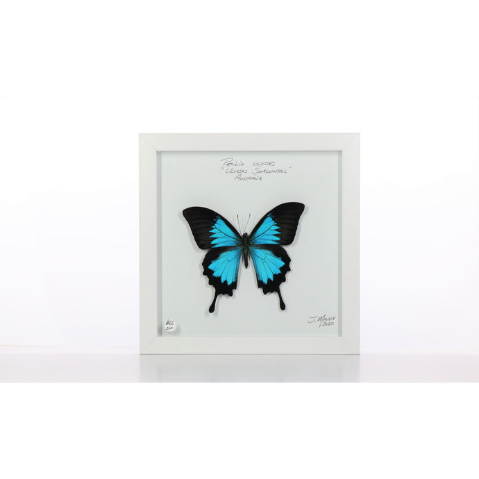 Ulysses Butterfly 8x8 White #200 Framed Art - Insecta Etcetera