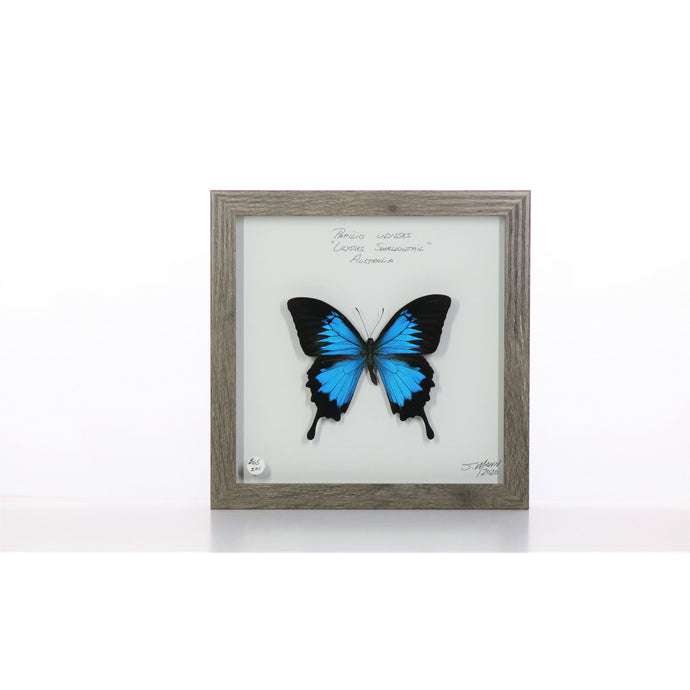 Ulysses Butterfly 8x8 Brown #201 Framed Art - Insecta Etcetera