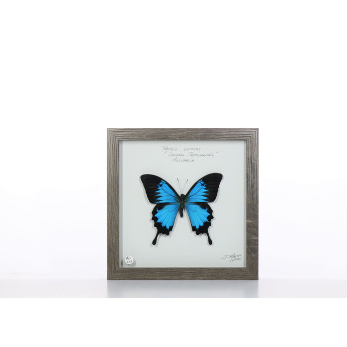 Ulysses Butterfly 8x8 Brown #202 Framed Art - Insecta Etcetera