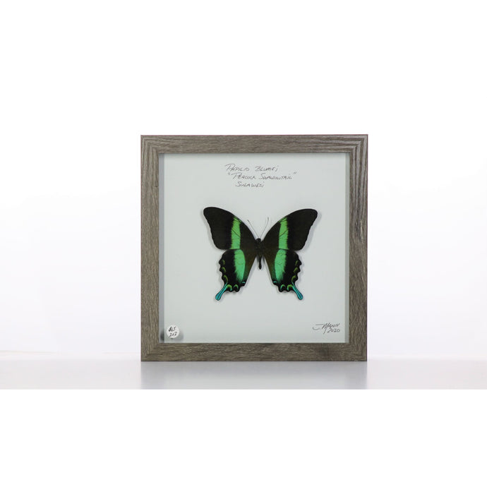 Peacock Swallowtail 8x8 Brown #203 Framed Art - Insecta Etcetera