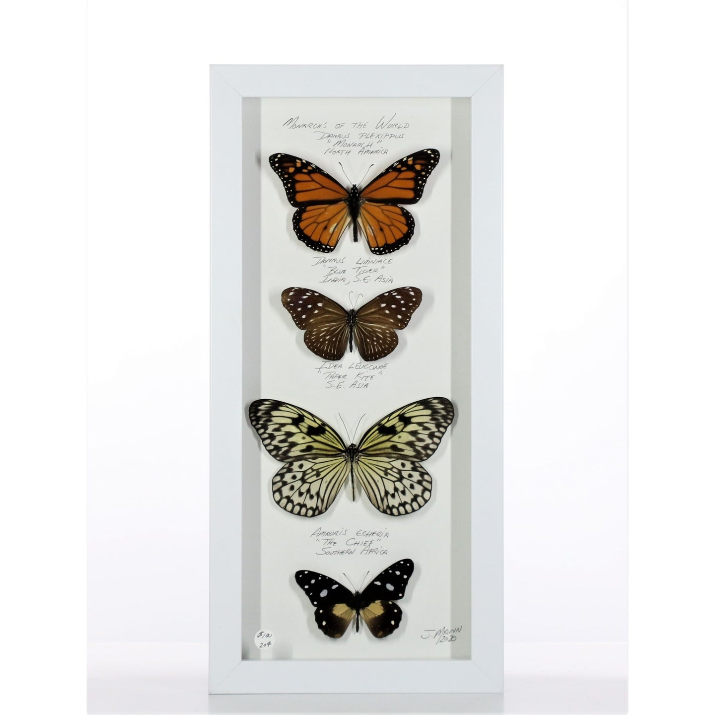 Four Monarchs of the World 6x14 White #204 Framed Art - Insecta Etcetera