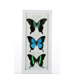 Blue Green Paplios 6x14 White #206 Framed Art - Insecta Etcetera