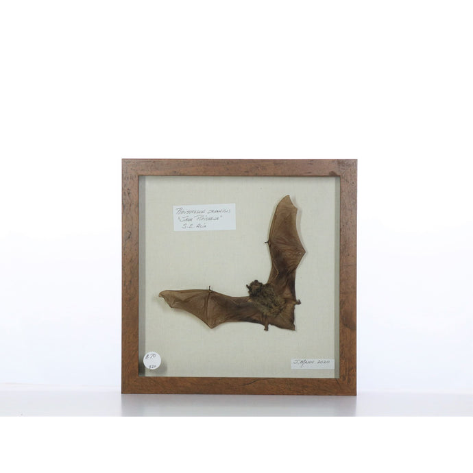 Java Pipistrella Bat 9x9 Brown #220 Framed Art - Insecta Etcetera