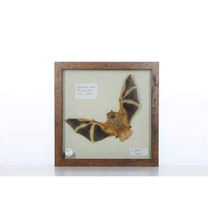 Painted Bat 9x9 Brown #221 Framed Art - Insecta Etcetera