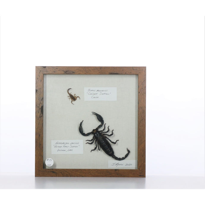 Scorpions 9x9 Brown #222 Framed Art - Insecta Etcetera