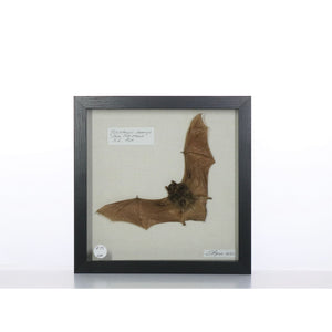 Java Pipistrella Bat 9x9 Black #224 Framed Art - Insecta Etcetera