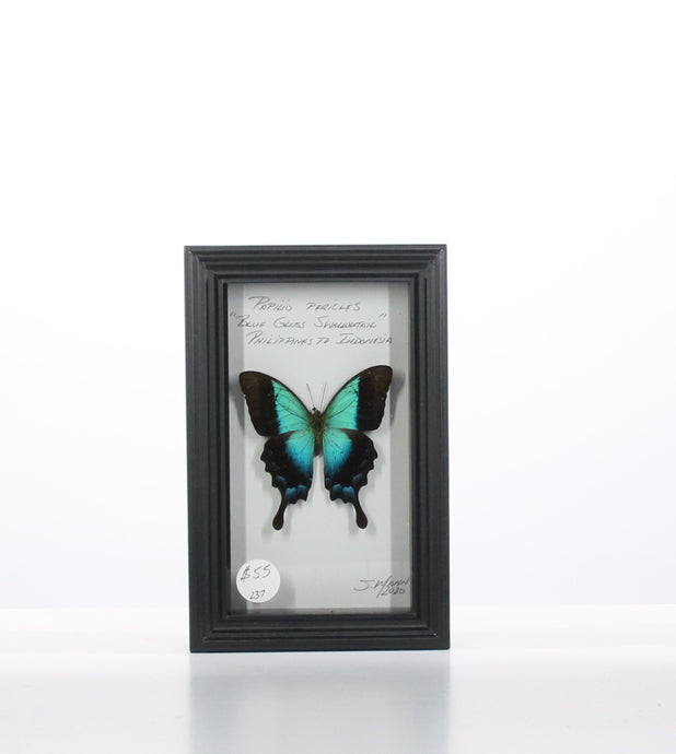 Blue Gloss Swallowtail 4x7 Black #237 Framed Art - Insecta Etcetera