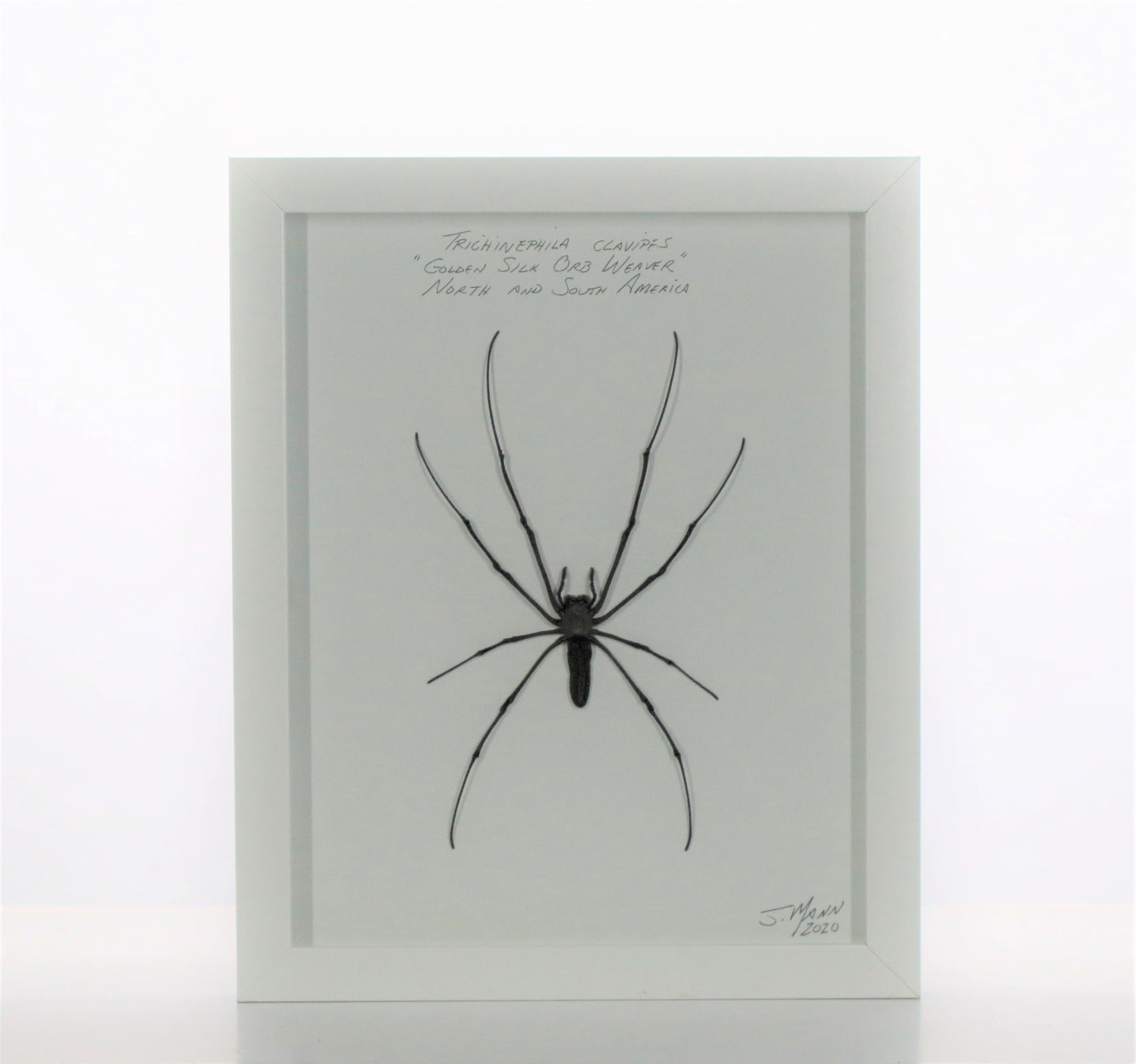 Giant Orb Weaver 8x10 White #250 Framed Art