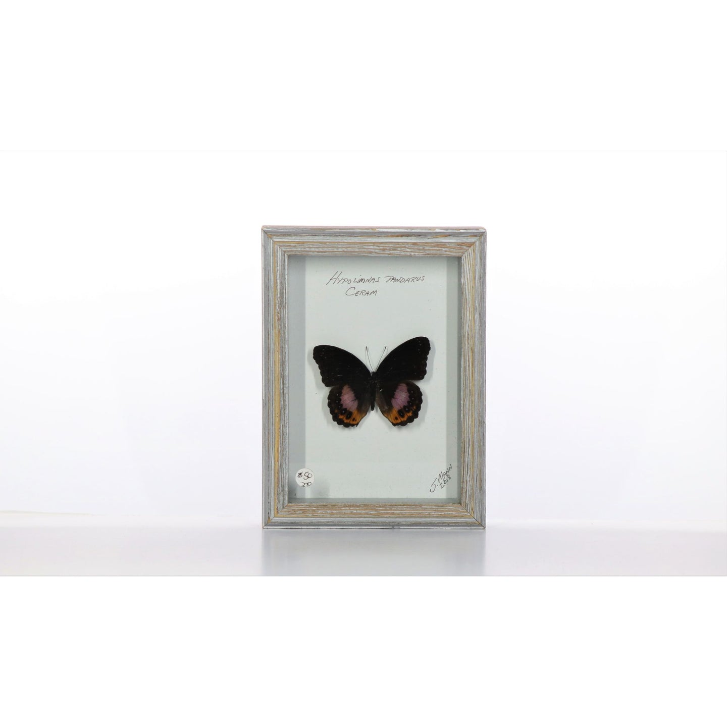 Hypolimnas pandarus Butterfly 5x7 Gray #270 Framed Art - Insecta Etcetera