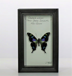 Purple Spotted Swallowtail 4x7 Black #278 Framed Art