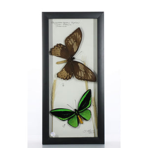 Onithoptera priamus Pair 6x14 Black #280 Framed Art - Insecta Etcetera