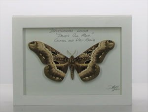 Drury's Owl Moth 5x7 White #0284 Framed Art
