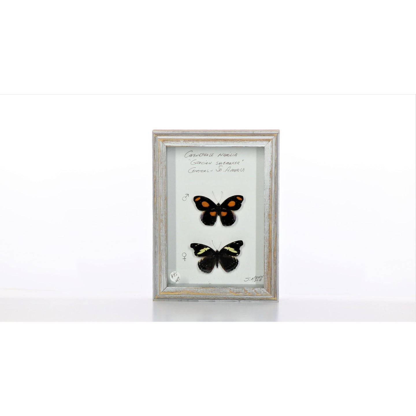 Grecian Shoemaker Butterfly Pair 5x7 Gray #284 Framed Art - Insecta Etcetera