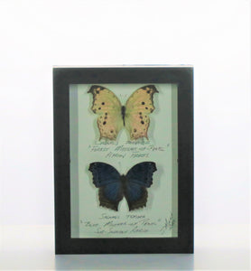 Parhassus Butterflies 5x7 Black #290 Framed Art