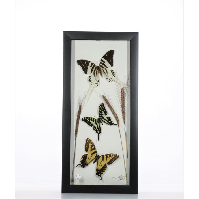 Three Tiger Swallowtails 6x14 Black #296 Framed Art - Insecta Etcetera
