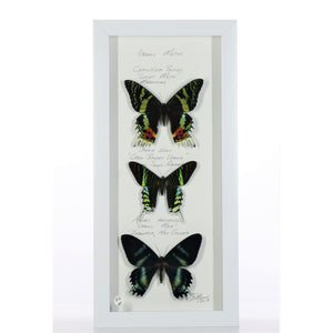 Three Uranus Moths 6x14 White #499 Framed Art - Insecta Etcetera