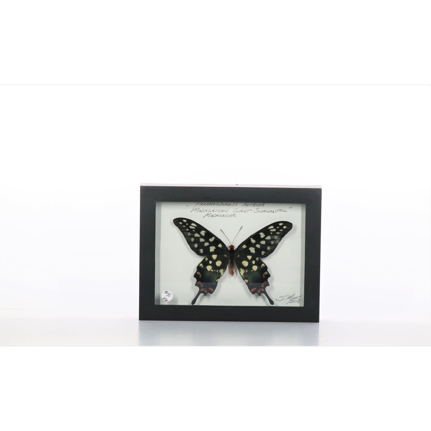 Madigascar Swallowtail 5x7 Black #516 Framed Art - Insecta Etcetera