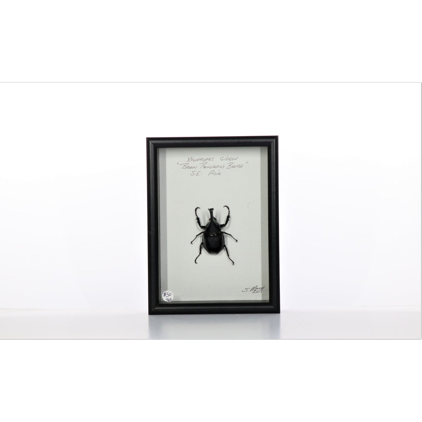 Brown Rhino Beetle 5x7 Black #560 Framed Art - Insecta Etcetera