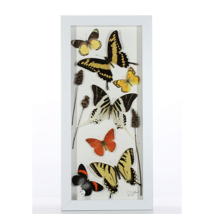 Yellow Orange Swallowtails 6x14 White #625 Framed Art - Insecta Etcetera