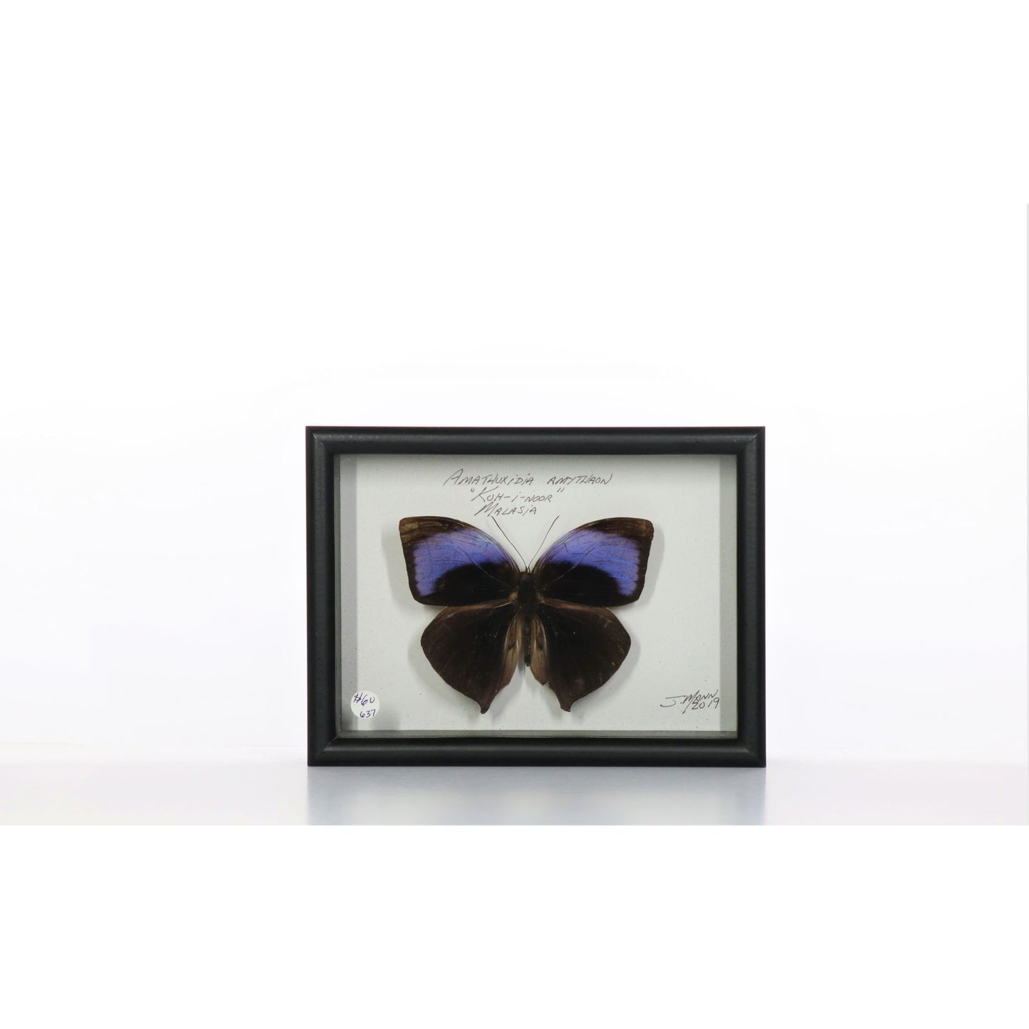 Koh-i-noor Male Butterfly 5x7 Black #637 Framed Art - Insecta Etcetera