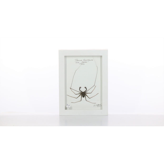 Whip Scorpion 5x7 White #653 Framed Art - Insecta Etcetera