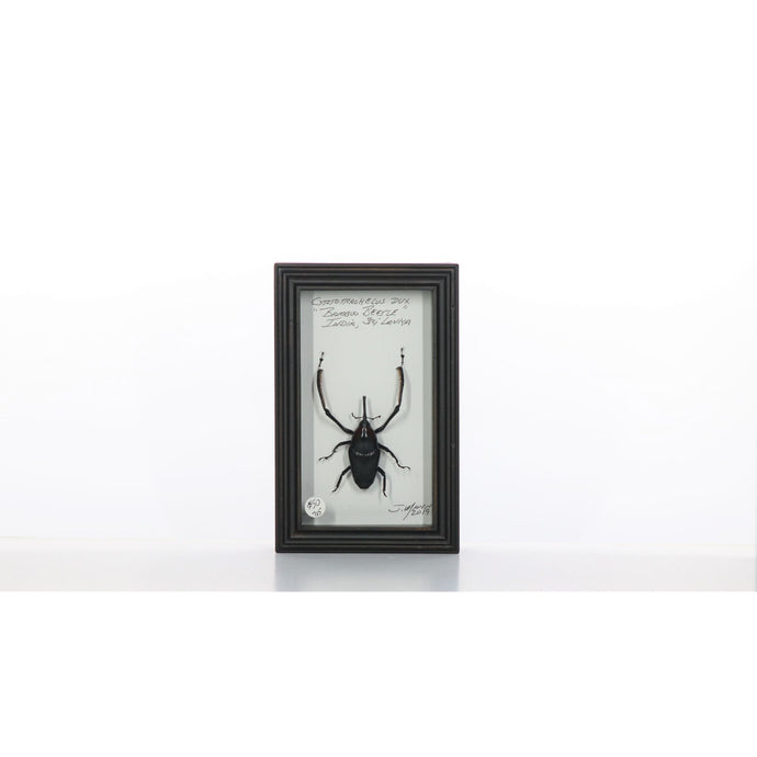 Bamboo Beetle 4x7 Dark Brown #715 Framed Art - Insecta Etcetera