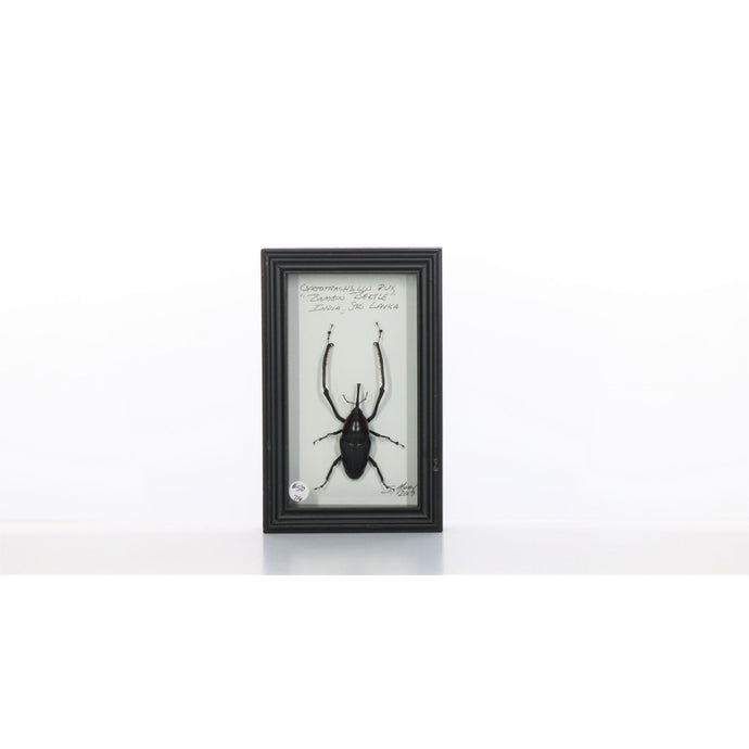 Bamboo Beetle 4x7 Dark Brown #716 Framed Art - Insecta Etcetera