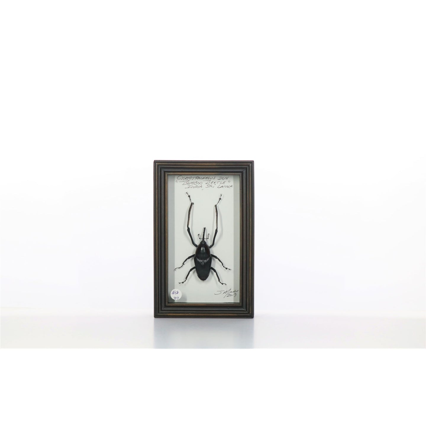 Bamboo Beetle 4x7 Dark Brown #717 Framed Art - Insecta Etcetera