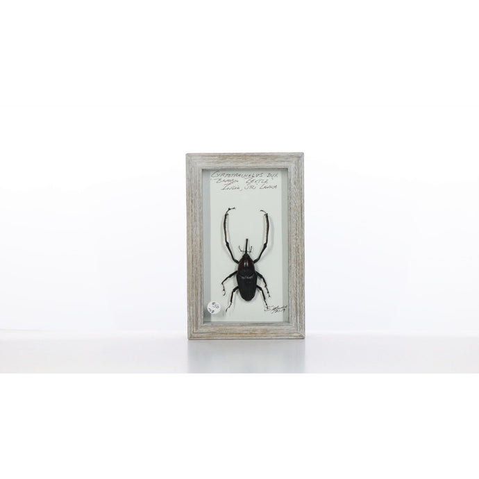 Bamboo Beetle 4x7 Gray #718 Framed Art - Insecta Etcetera