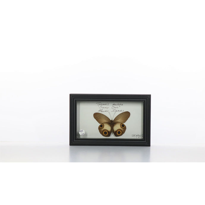 Silky Owl 4x7 Dark Brown #720 Framed Art - Insecta Etcetera