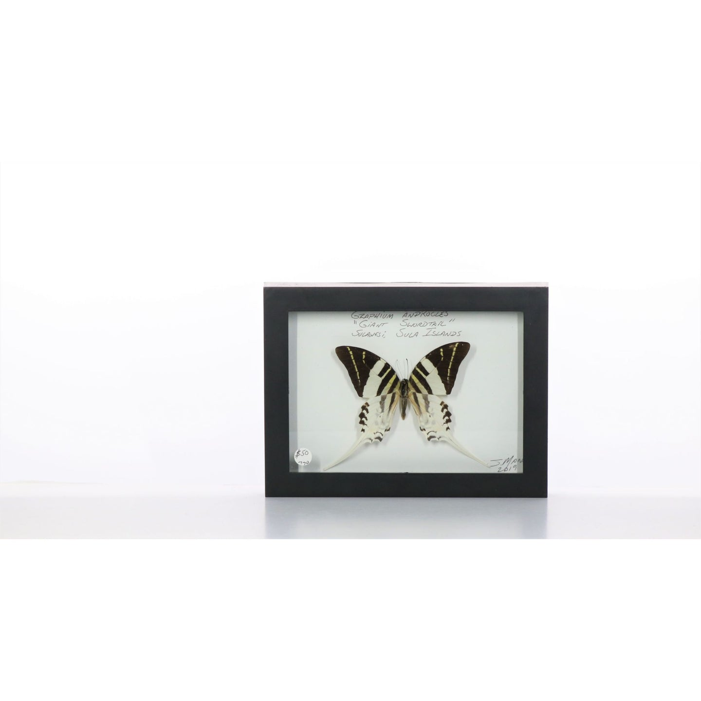 Giant Swordtail 5x7 Black #770 Framed Art - Insecta Etcetera