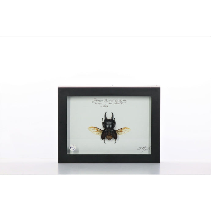 Taurus Stag Beetle 5x7 Black #799 Framed Art - Insecta Etcetera
