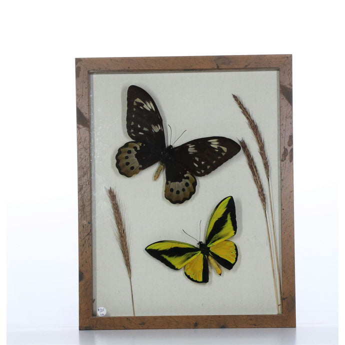Ornithoptera Goliath Pair 11x14 Brown #806 Framed Art - Insecta Etcetera