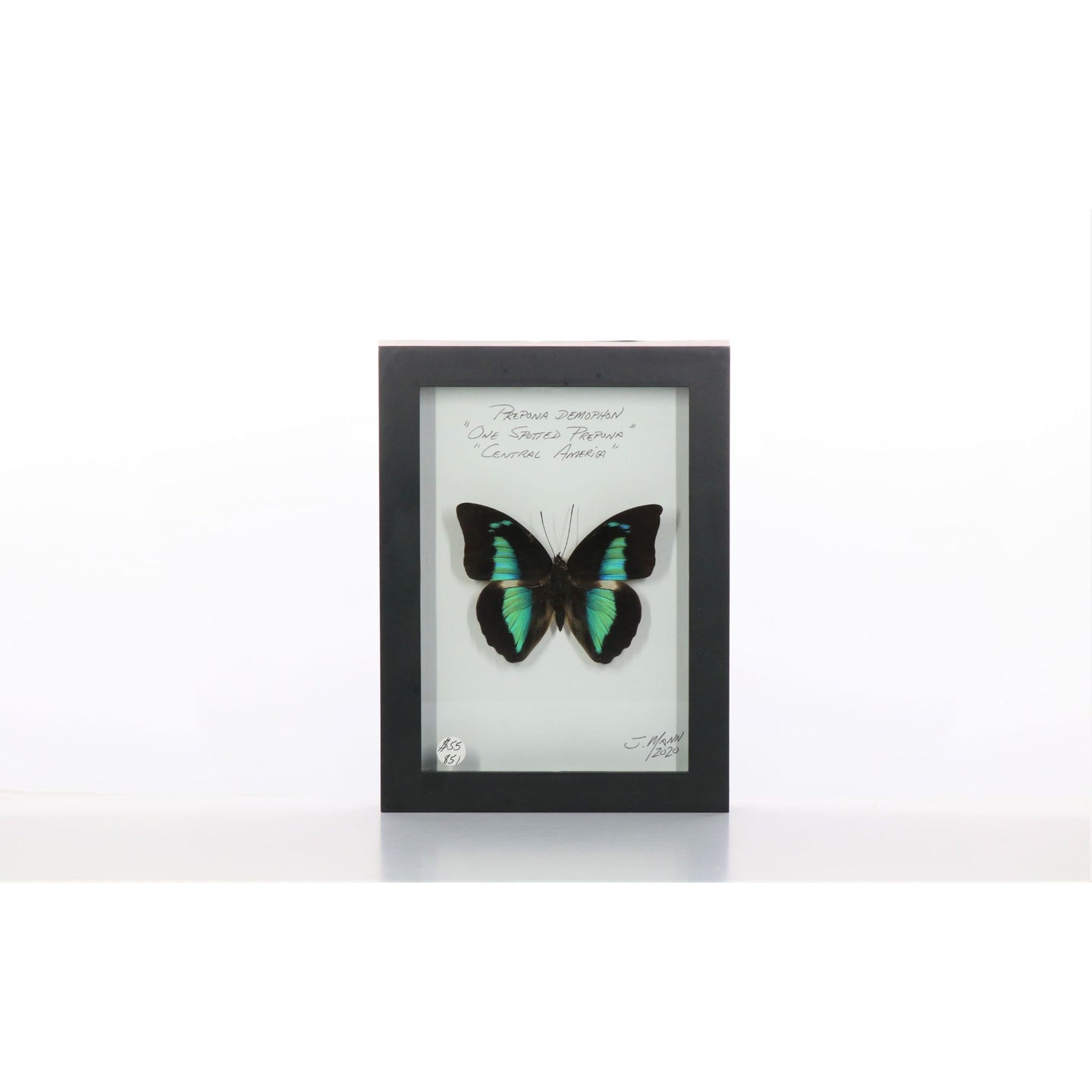 Prepona Butterfly 5x7 Black #851 Framed Art - Insecta Etcetera